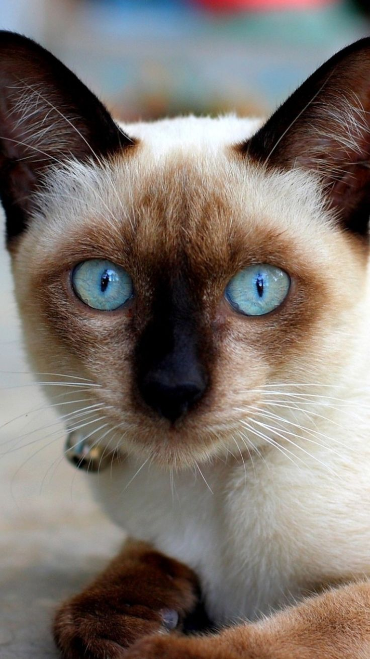 1540 best Siamese cats images on Pinterest | Siamese cats, Kawaii ...