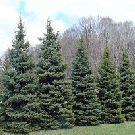 """Black Hills Spruce One of the many """"Hedge Trees"""". These trees need more space in order to provide privacy,  wind break,  etc"""