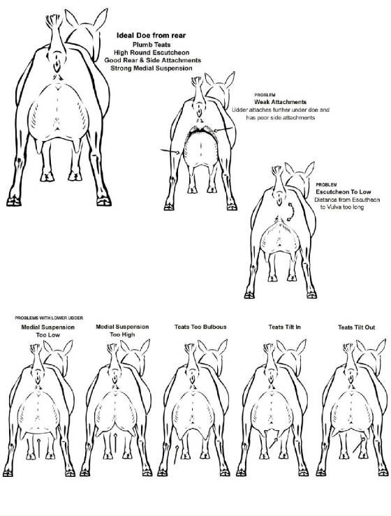 """show me what a """"perfectly conformed"""" goat looks like - The Goat Spot - Goat Forum"""