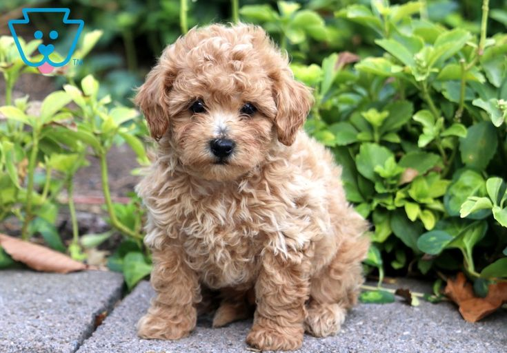 Buckwheat puppies puppies for sale toy poodle puppies