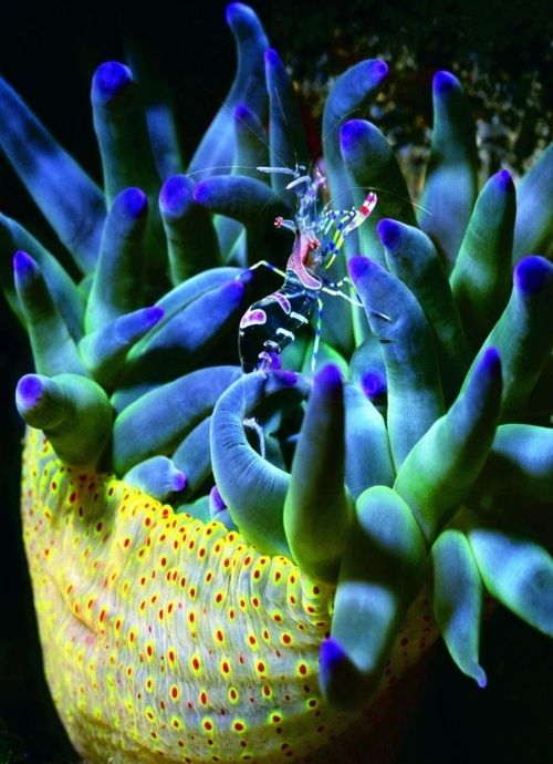 Banded Partnergarnele (on another sea creature I would love to know the name of)…