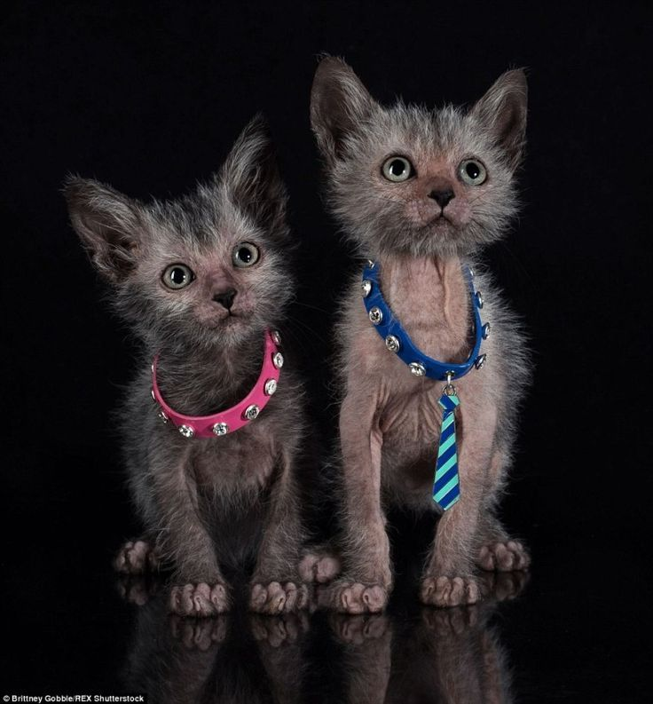 While Lykoi cats look like they could be wild and feral cats, they reportedly have a friendly hound dog personality, are driven by scent and are very intelligent.  Read more at: http://nextshark.com/theres-a-terrifying-breed-of-werewolf-cats-that-act-like-dogs-and-cost-up-to-2500/#rmns