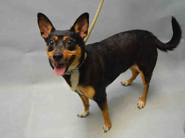 VICKY - A1096135 - - Brooklyn  Please Share:TO BE DESTROYED 11/13/16 **NEEDS A NEW HOPE RESCUE TO PULL** -  Click for info & Current Status: http://nycdogs.urgentpodr.org/vicky-a1096135/
