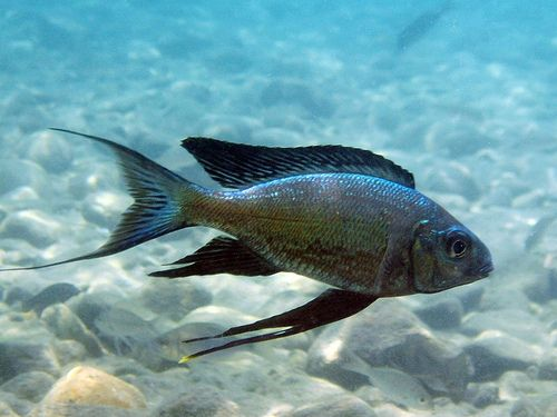 161 best images about cichlids on pinterest for Lake tanganyika fish