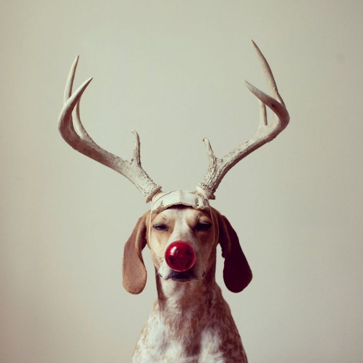 Maddie the coonhound. Merry Christmas :)
