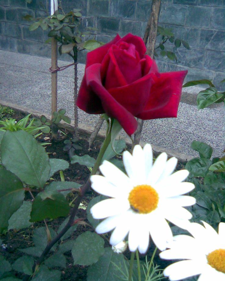 Rosa y Margaritas