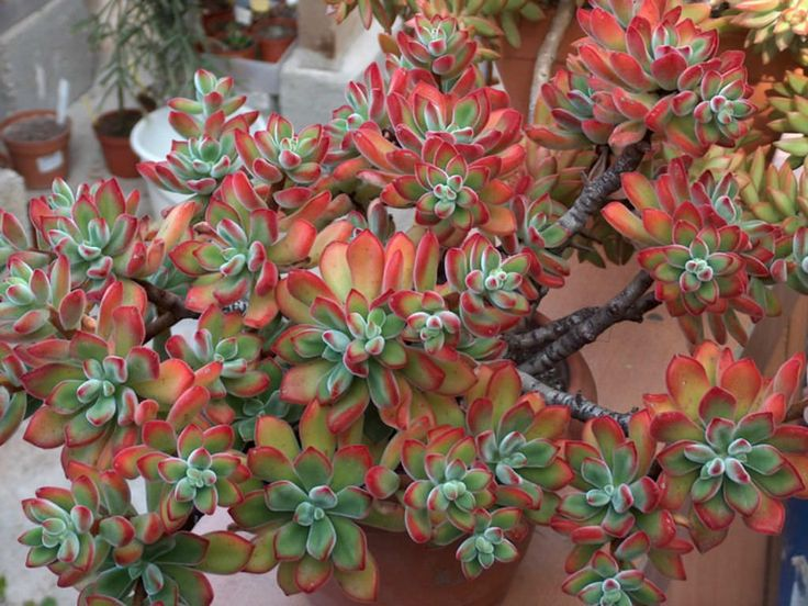 Best Planty Images On Pinterest Plants Gardening And Flowers - Japan is going mad over these tiny succulents that look like bunny ears