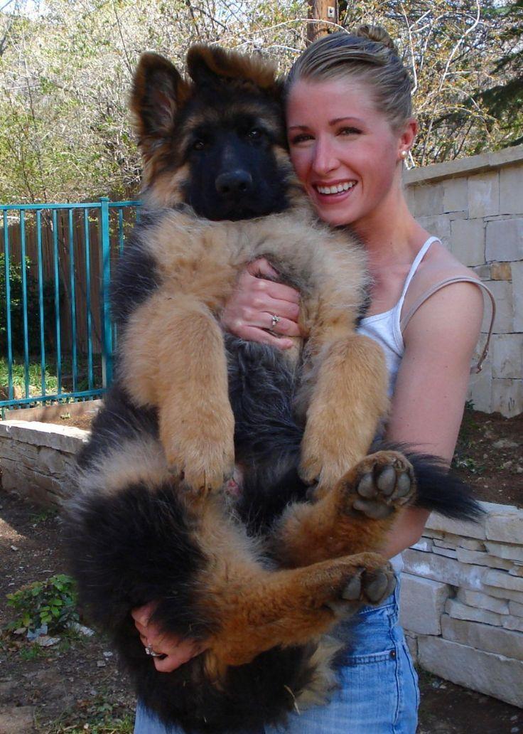 Giant German Shepherd baby!  I love it :)  #GSD #LongHairedGSD #GermanShepherd