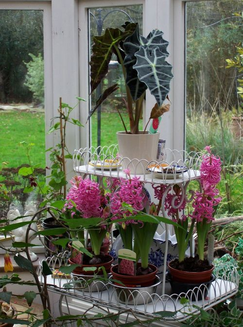 17 best images about indoor garden jungle on pinterest - Planting hyacinths indoors ...