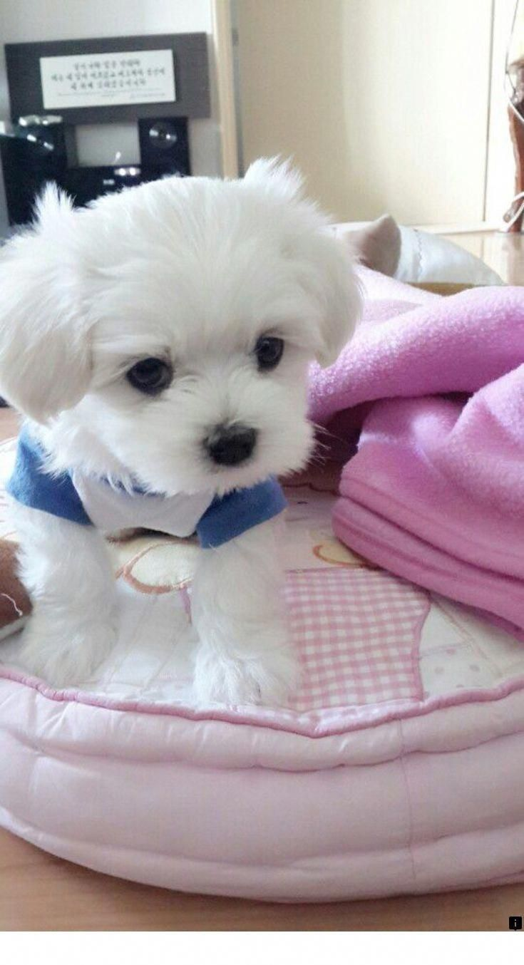 Beagle Friendly And Curious Maltese Dogs Puppies Baby Dogs