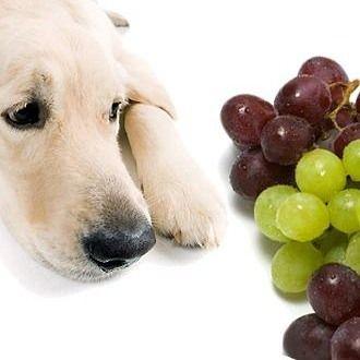 Можно ли собак угощать виноградом? Потребление винограда и особенно изюма потенциально опасно для собак развитием острой почечной недостаточности. Механизм действия токсина окончательно не выяснен. Сорт винограда и место где он был выращен значения не имеют. Почему такая реакция у собак? Внимательно изучались почки погибших собак и единственное что удалось идентифицировать - золотисто-коричневый пигмент в почечных канальцах где развивалась ренальная тубулопатия. Информация которую я нашел в…