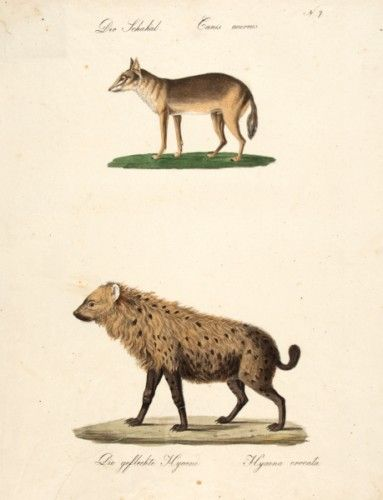 BRODTMANN, Carl Joseph. Der Schakal, Die gefleckte Hyaene The Jackal, [The spotted Hyena]