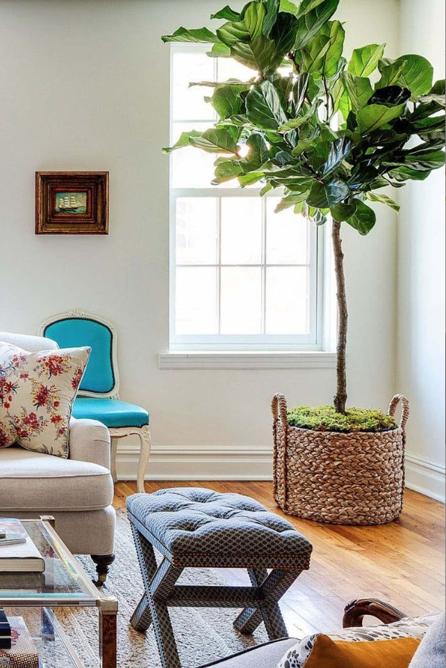 Fiddle Leaf Fig Tree In Pottery Barn Basket Fiddle Leaf
