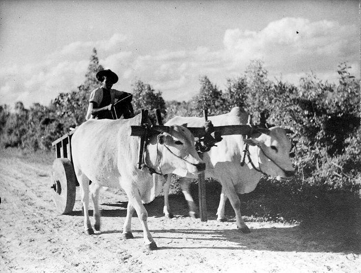Een ossenwagen te Merauke. 1951