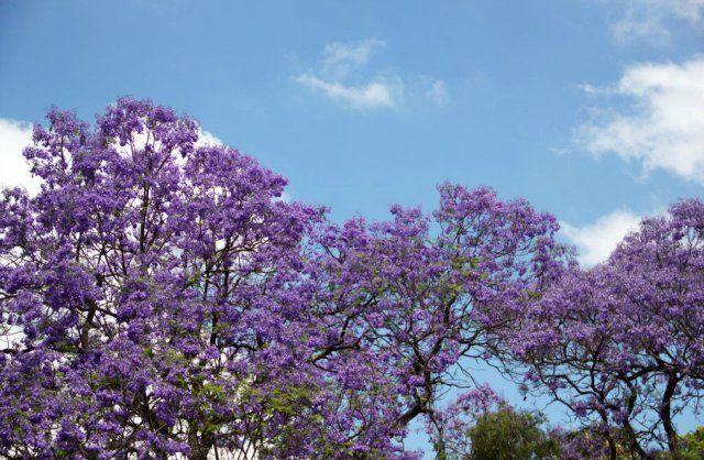 Жакаранда - волшебное дерево - Животный и растительный мир Африки