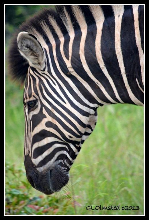 No two zebra are striped alike.  Kruger National Park http://geogypsytraveler.com/2013/10/30/wildlife-head-shots-south-african-safari-kruger-national-park/