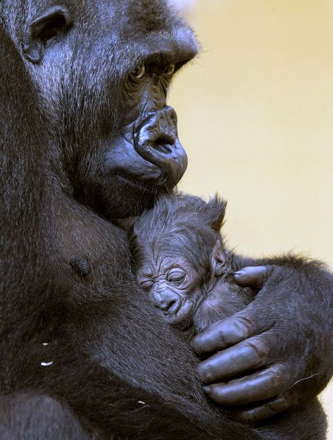 "The gorilla ""Moja"" holds his baby after his birth at the Nature Park of Cabarceno in Cantabria, northern of Spain, April 16, 2013. This is the second gorilla that is  born in this natural reserve. (Photo by Esteban Cobo/EPA)"