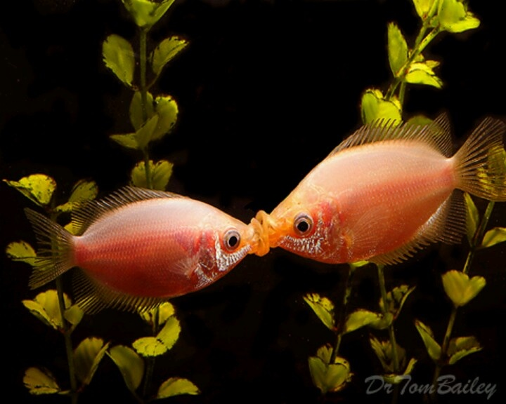 gourami kissing fish my virtual aquarium pinterest