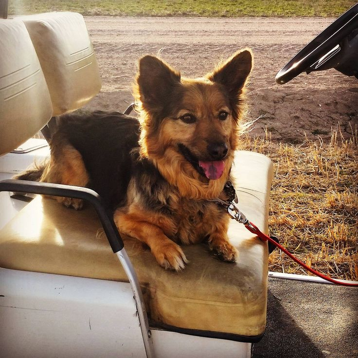 This is Crosby. He's a German shepherd Corgi mix and loves going for rides!