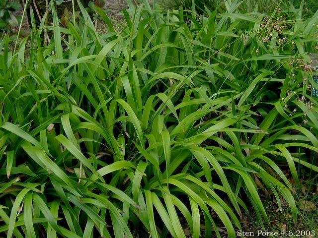 Luzula sylvatica (Veldbies), matten van glanzend groen blad met kleine witte bloemen, sterk, groenblijvend gras, oude bloeihalmen  in het voorjaar wegknippen, groeit breed uit