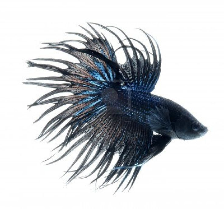 Black Betta Fish | ~Beautiful Betta Boys~ | Pinterest