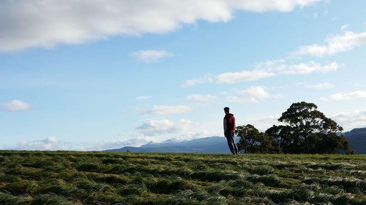 #Saffron crocus plants lapping up the sun - #TasSaff #CrocusSativus #corms Discover Tasmania McKenzie's Foods