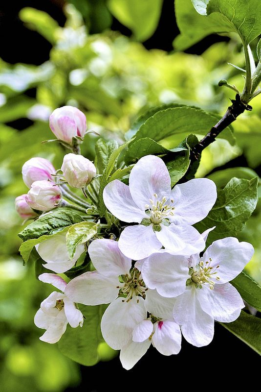 Apple Blossoms by H Oke**