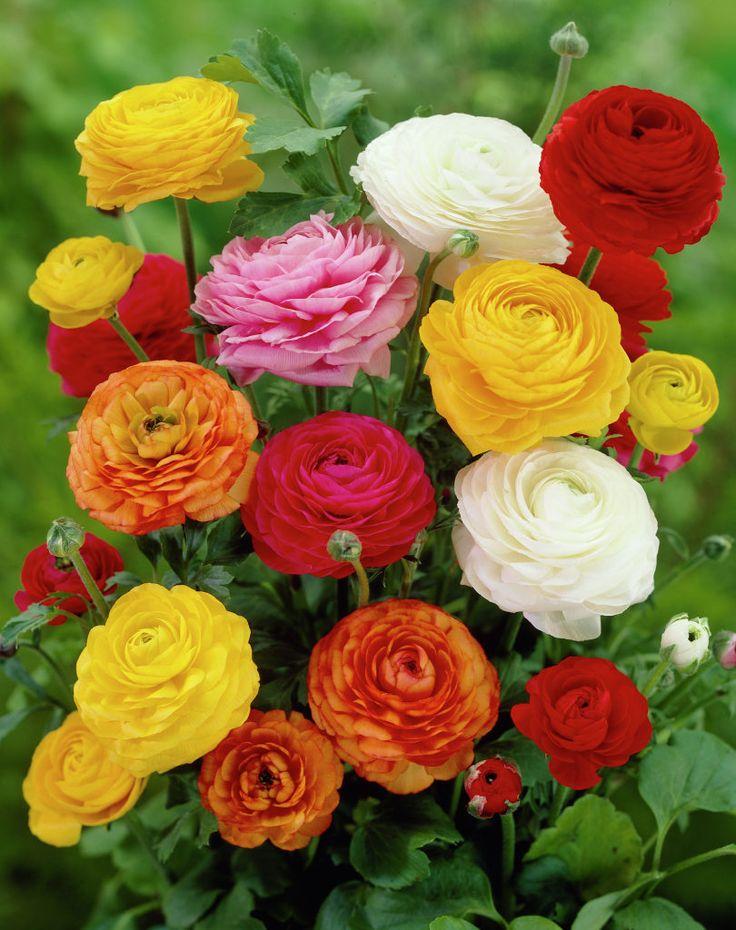 Persian buttercup • Ranunculus asiaticus • Turban buttercup • Persian crowfoot • Plants & Flowers • 99Roots.com