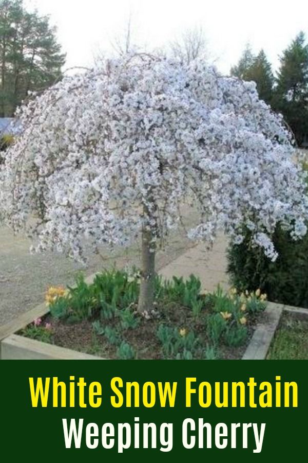 Ornamental White Snow Fountains Weeping Cherry Tree White Snow Fountains Weeping Cherry Tree Prunus X Snofo Weeping Cherry Tree Accent Trees Weeping Trees