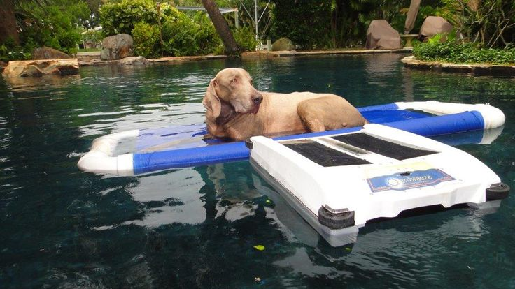 #Solar-Breeze robot does double-duty:  cleaning the pool and playing with the dog.