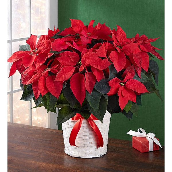 Poinsettia Plant Pot To Decorate Your Home On This Christmas Homedelivery Specialdiscount Special Poinsettia Centerpiece Christmas Plants Poinsettia Plant
