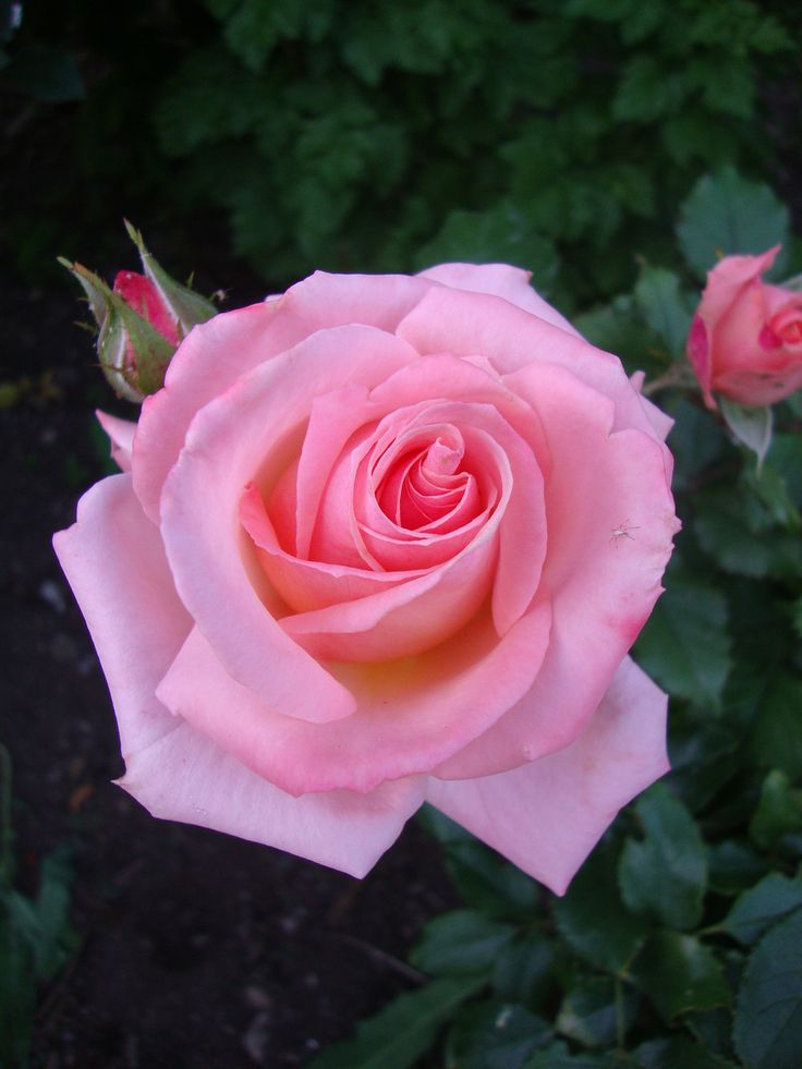 39 bill warriner 39 floribunda rose roses the queen of flowers pinterest rose blumen. Black Bedroom Furniture Sets. Home Design Ideas