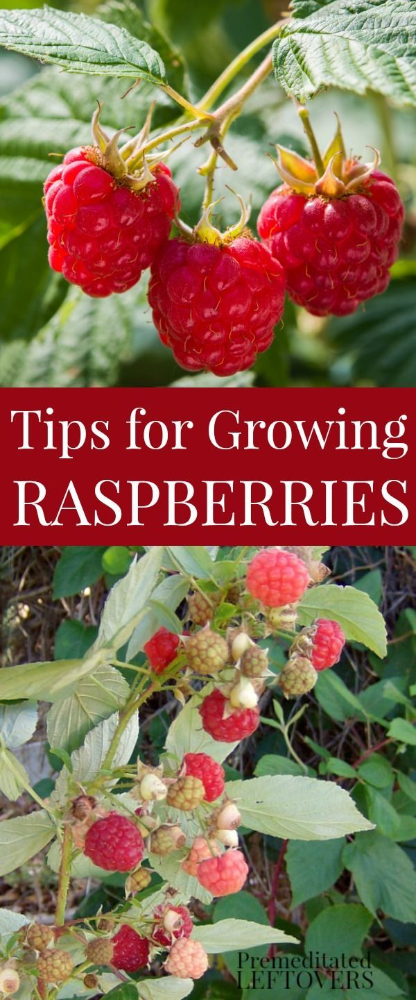 Tips for Growing Raspberries in Your Garden, including how to plant raspberries, how to grow raspberry plants in containers, and how to harvest the berries and how to divide raspberries. #gardeningtips