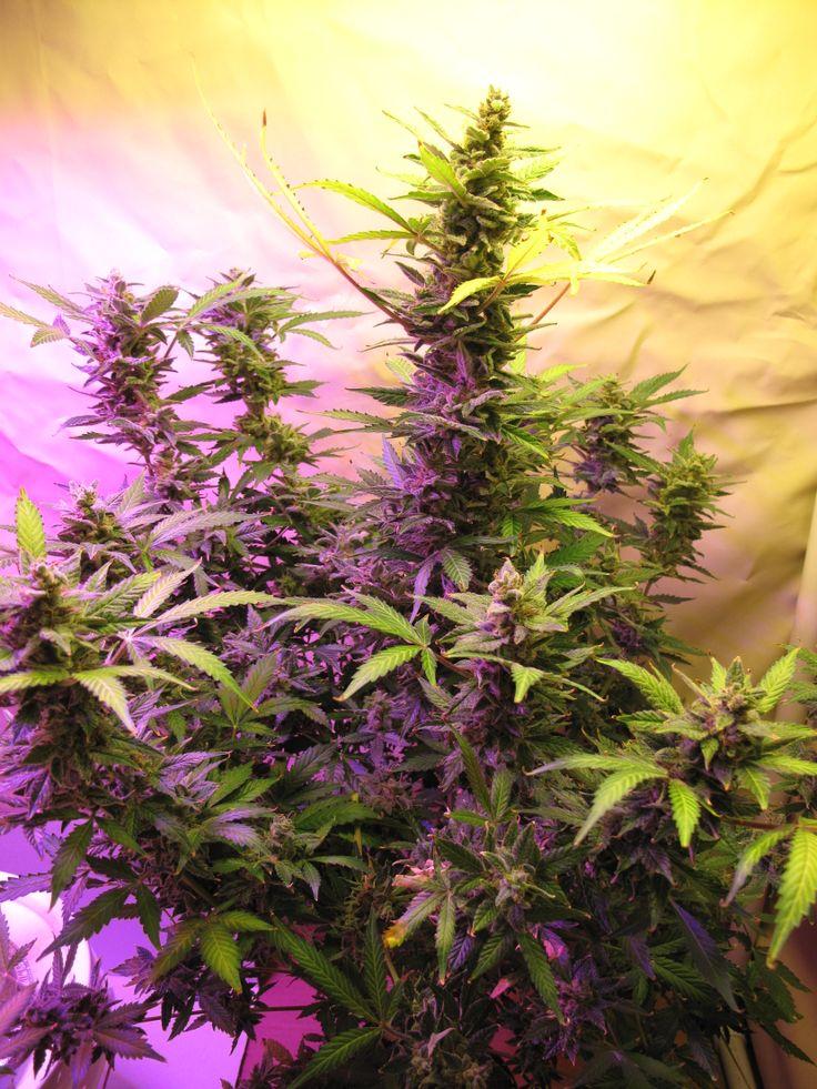 sims 4 how to grow cannabis