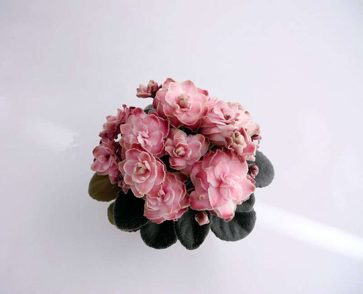 Jolly Imp (H.Pittman)  Махровые розовые цветы с зеленой каймой, местами даже зелено-коричневой каймой. Средне-зеленая зубчатая листва. Миниатюра.