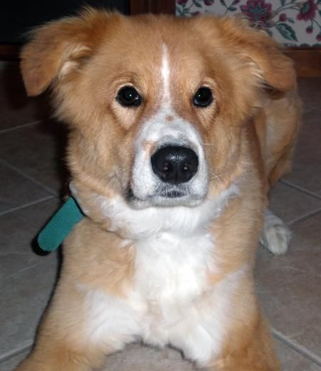 17 Best images about Chows and Chow Mixes on Pinterest ...