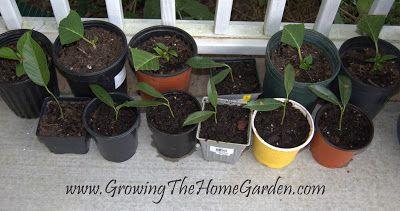 Growing The Home Garden: Propagating Schip Laurels