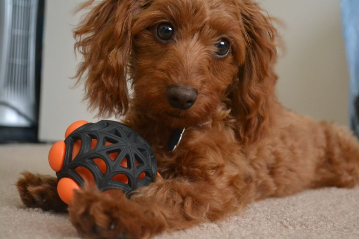 Doxiepoo (Dachshund-Toy Poodle Mix) Facts, Temperament, Puppies, Pictures