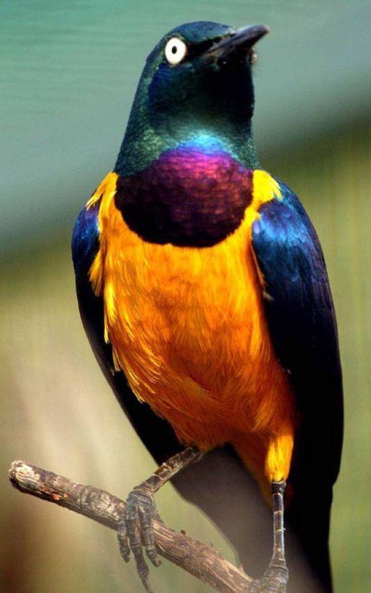 Golden-breasted Starling/ Choucador Royal by Subhan Allah