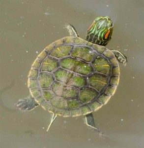baby-red-eared-slider-turtle-swimming