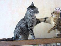 Gatos Mau Egípcio