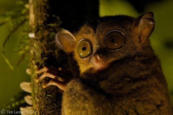 """""""Ojos en la noche"""",finalista en el premio Gerald Durrell y tomada en la Danum Valley Conservation Area de Malasia:"""