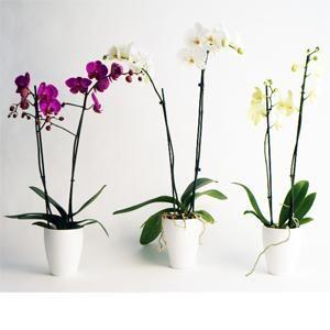 Sus formas voluptuosas y colores intensos hacen que las orquídeas sean la opción perfecta para regalar flores y adornar el jardín o el interior de una casa   Bourguignon Floristas #orchids #flowers