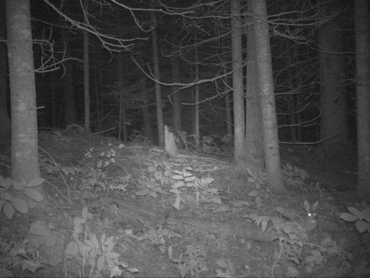 Snowshoe Hare-Ashland County