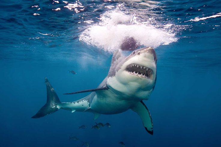 White shark's diet may include biggest fish of all: whale shark
