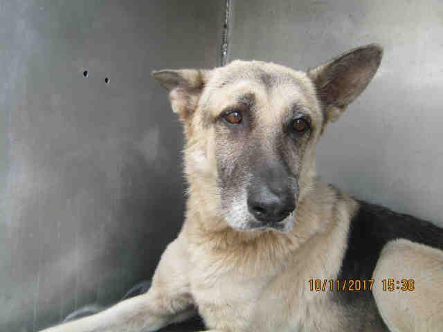 German Shepherd Dog Dog For Adoption In San Antonio Tx Adn