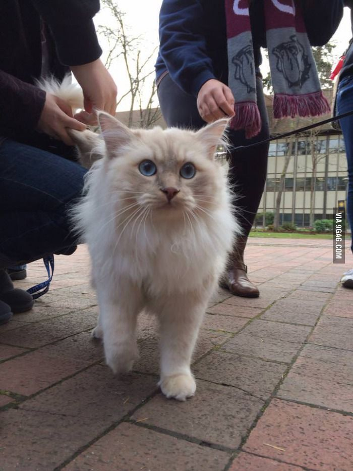 This is Teddy. Therapy cat for finals at a Washington state university.