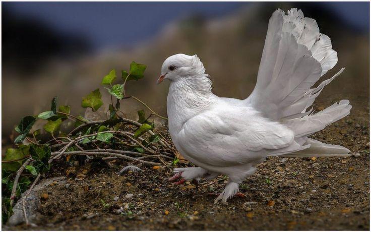 Dove Pigeon Bird Wallpaper   dove pigeon bird wallpaper 1080p, dove pigeon bird wallpaper desktop, dove pigeon bird wallpaper hd, dove pigeon bird wallpaper iphone