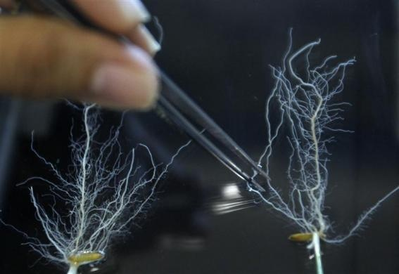 A scientist prepares to scan roots for a gene inside a laboratory at the International Rice Research Institute in Los Banos, south of Manila, August 30, 2012. A team at the IRRI announced they had discovered a gene which increases grain production by 20 percent by enabling rice plants to grow stronger root systems for better intake of phosphorus, an important but limited plant nutrient. REUTERS-Cheryl Ravelo