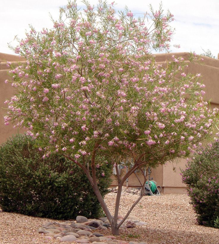 Desert Willow Tree - Horticulture Unlimited | Landscaping ...